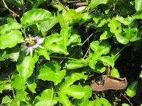 How to Make a Stubborn Passionfruit Vine Flower – Nicaraguan FolkWisdom